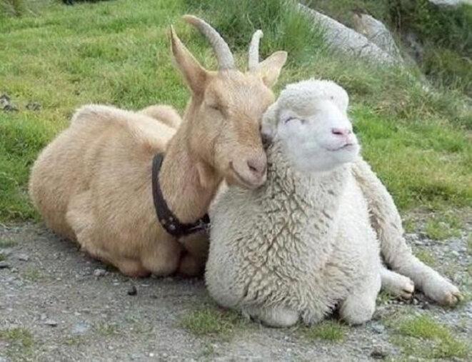 chevre-et-mouton