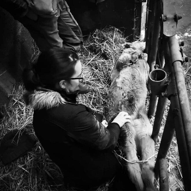 Vétérinaire praticienne rurale au chevet d'un veau © Vétérinaires en colère