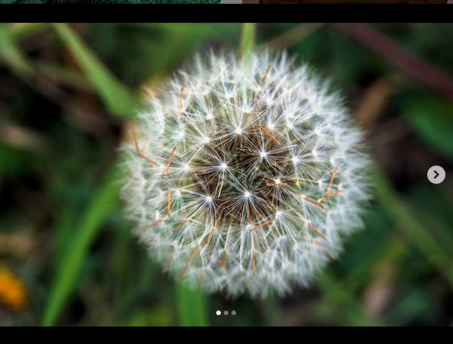 3 moments of dandelion life 1 © Luna TMG Instagram