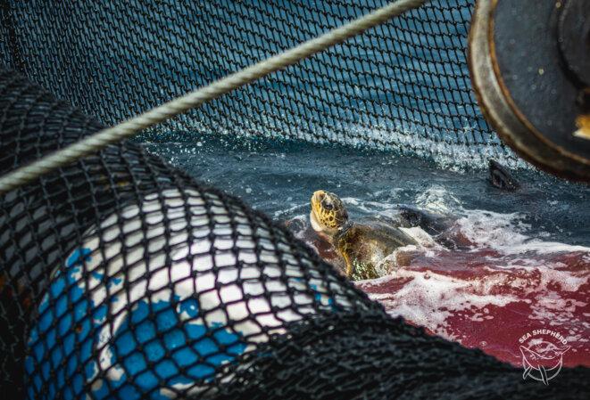 (Photo : Youenn Kerdavid / Sea Shepherd) © Youenn Kerdavid / Sea Shepherd Global