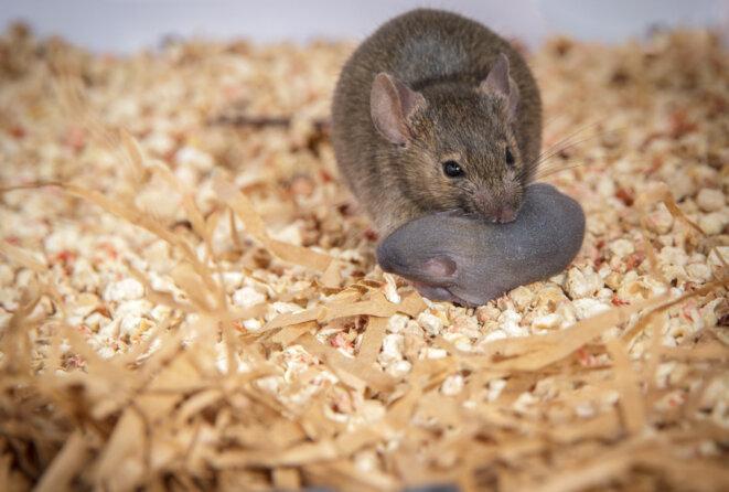 Les souris mères de substitution auxquelles il manque une copie de MECP2 dans les interneurones inhibiteurs ont du mal à rassembler leurs petits. © Roman Dvorkin / Shea Lab
