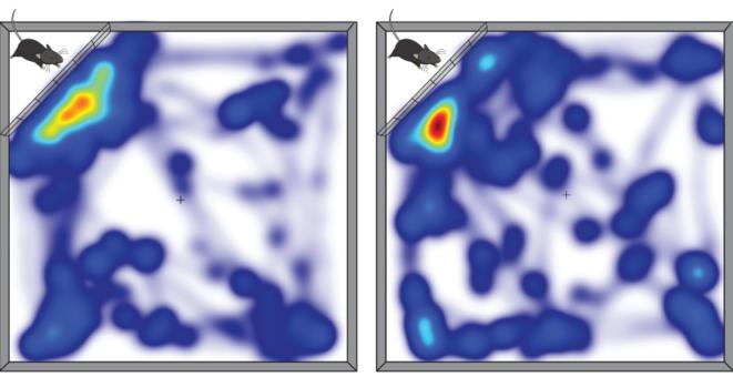 Désactivation : lorsque les neurones se projetant du thalamus vers le cortex préfrontal sont activés (à droite), les souris passent moins de temps à interagir avec une autre souris dans leur espace © Spectrum News