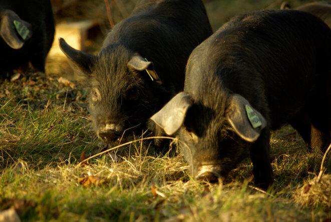 Porc gascon © Yves Guillerault