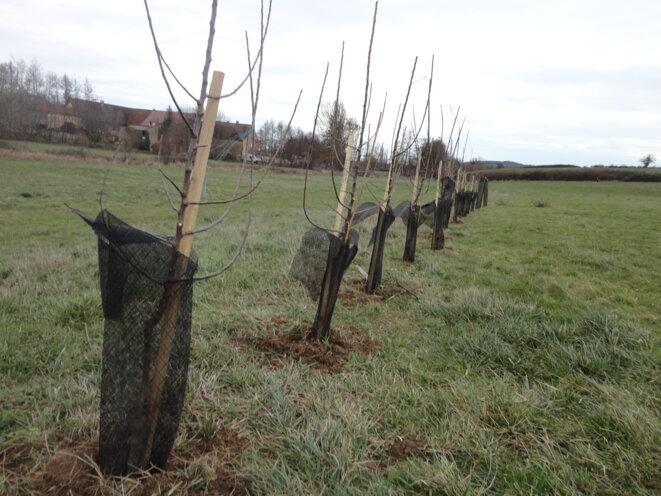 Plantation d'arbres fruitiers à la campagne – janvier 2021 © Yves Robert