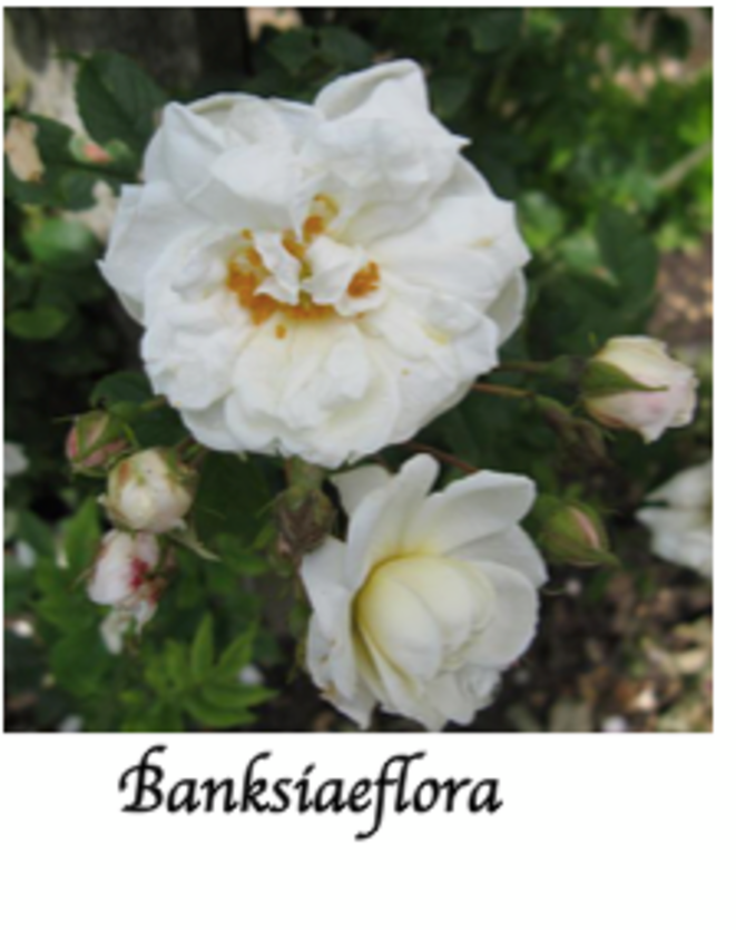 banksiaeflora-avec-le-gende