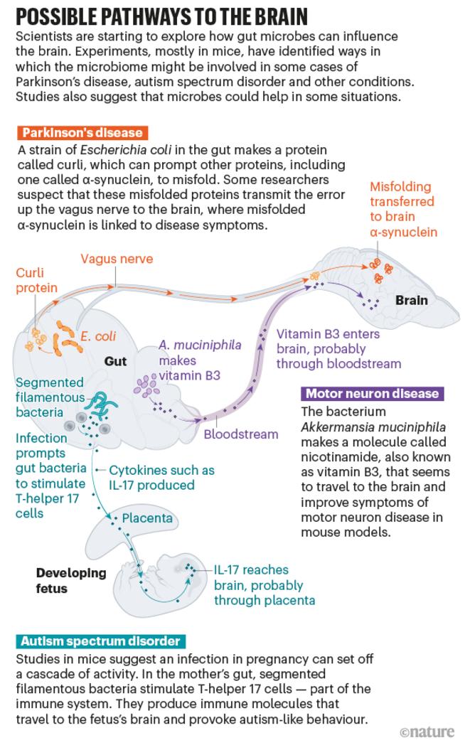 Graphique montrant les voies possibles chez la souris par lesquelles les bactéries de l'intestin pourraient influencer le cerveau. © Nik Spencer/Nature