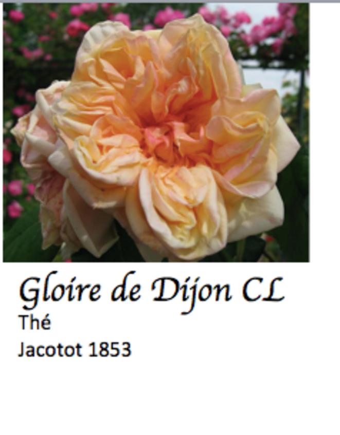 gloire-de-dijon-pre-pare-e-pour-blog