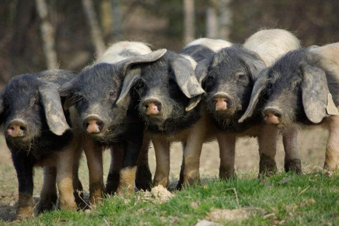 Jeunes cochons de race basque © Y. Guillerault