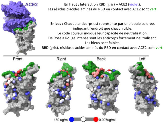 Cartographie des épitopes du RBD © Dejnirattisai et al. 2021 Cell The antigenic anatomy of SARS-CoV-2 receptor binding domain