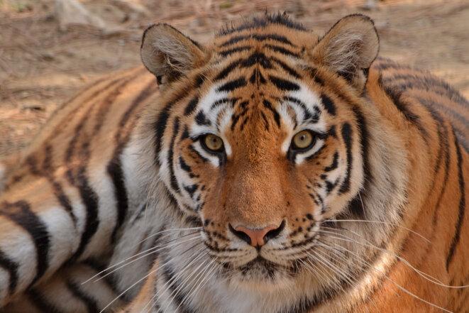 Tigre de l'Amour (ou de Sibérie) © Wikicommons