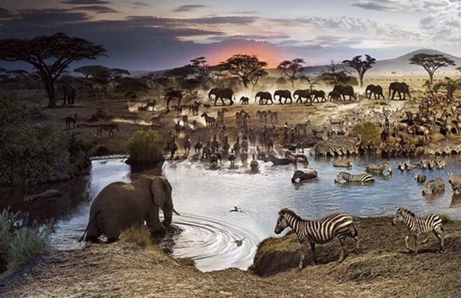 animaux-de-la-savane-zebre