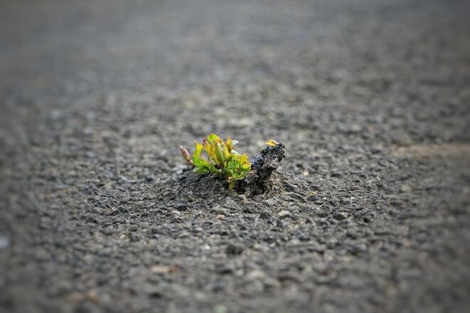 La nature est plus forte que le goudron !
