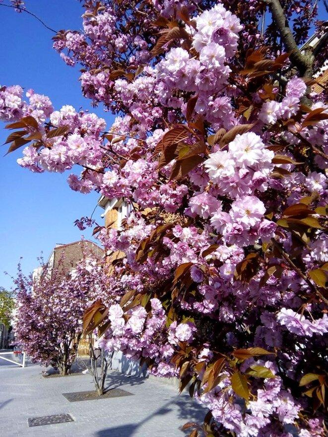 La commune des Lilas, en fleurs.