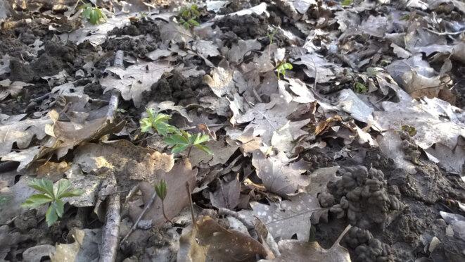 Premières lueurs de printemps en forêt. Le sol a été retourné, aéré. Les graines ont germé. Tout est prêt, l'homme n'a rien fait. © JBM