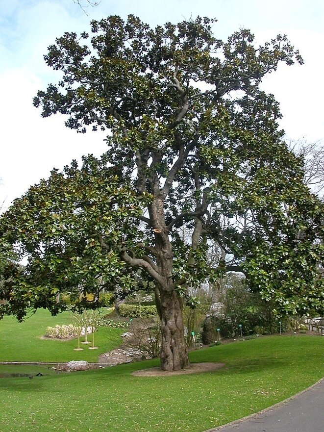 Le Magnolia d'Hectot (Jardin botanique de Nantes)