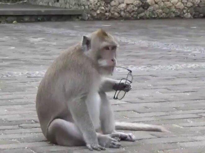 Les singes voleurs au temple d'Uluwatu (Bali, Indonésie)