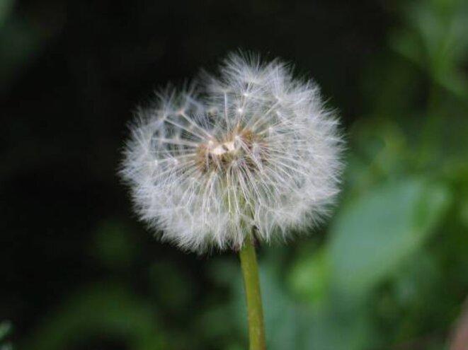 fleurpissenlitec