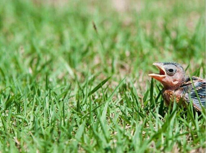 oiseau-tombe-du-nid