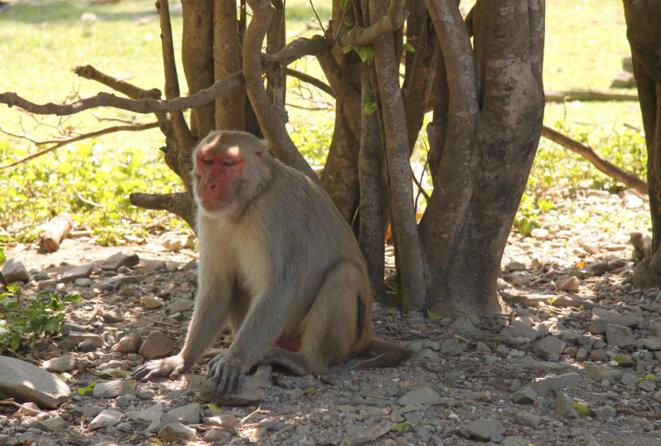 Ami fidèle : Certains singes, comme 41N ici, suivent des modèles sociaux inhabituels - et sont porteurs d'une variante génétique liée à l'autisme. © Brendan Borrell
