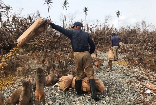 Frénésie alimentaire : Julio Resto, le gardien principal de Cayo Santiago, jette un sac de nourriture pour singes. La tempête a rasé les corrals d'alimentation de l'île. © Avec l'aimable autorisation de Bonn Aure