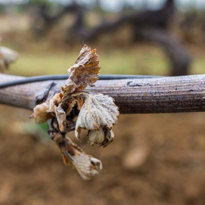 Gel de la vigne, printemps 2017. L'Express du 16 août titre : le millésime 2018, petit par la production mais grand par la qualité. Avec AFP.