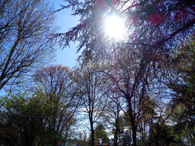 arbres-lilas