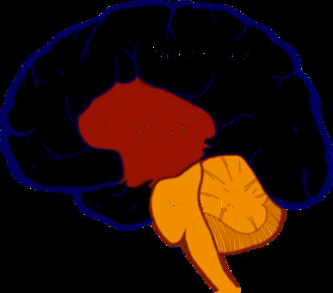 3-cerveaux-72dpi