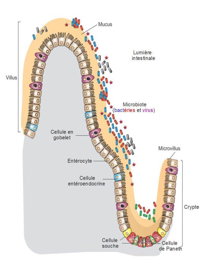 Cellules intestinales chez l'homme © Wikipedia