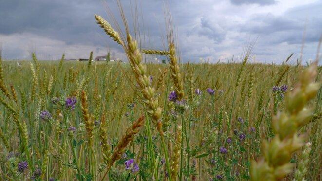 Champ de blés anciens © Luc Legay