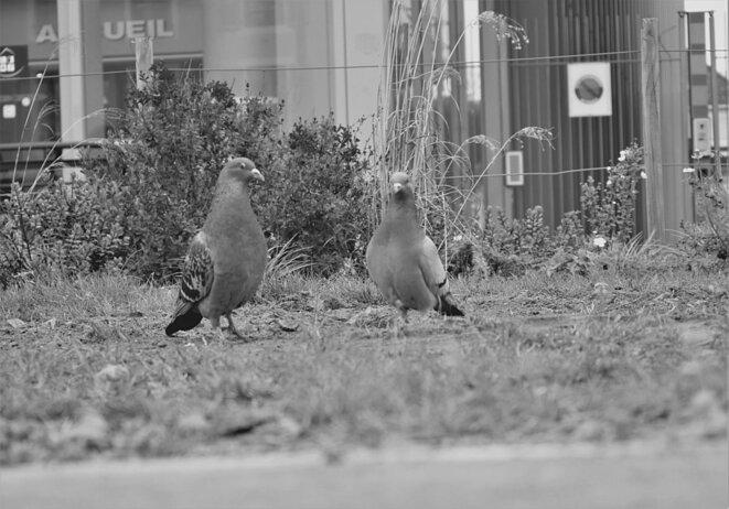 Pigeons © Le Petit Bretteur