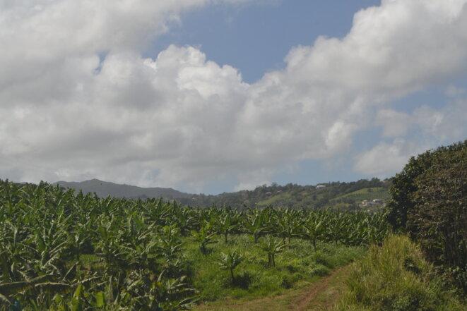 Après le café, les épices et la canne à sucre, les bananeraies sont désormais partie intégrante du paysage martiniquais © JS