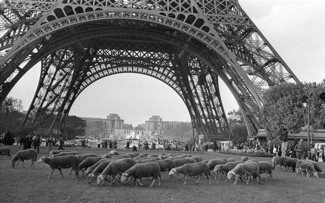 Le 20 octobre 1972, des brebis de Larzac apparaissent sur le Champ-de-Mars à Paris. © Archives AFP