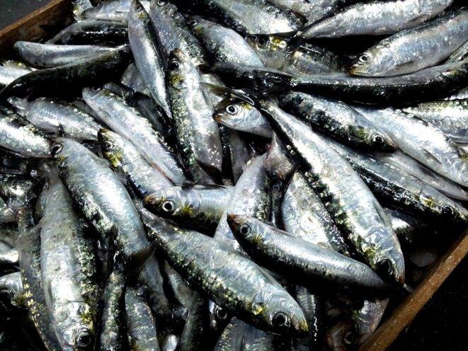 sardines-2289503-1280
