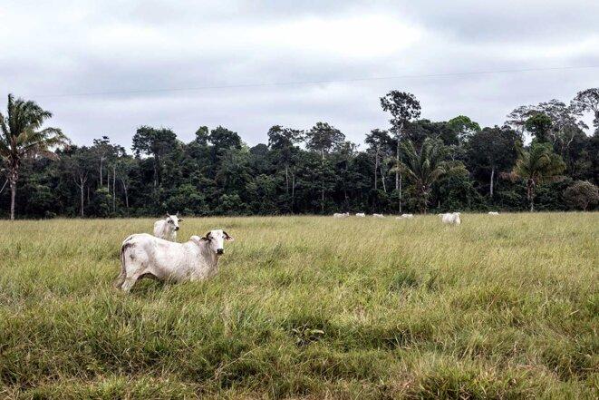 Des bœufs dans un champ près de Seringueiras. © Photo Jean-Mathieu Albertini pour Mediapart
