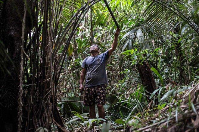 Un homme taille les branches d'un palmier murumuru. © Photo Jean-Mathieu Albertini pour Mediapart