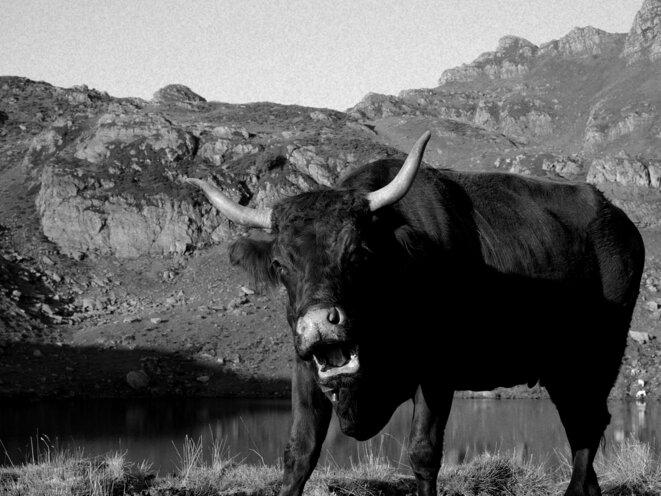 Vache © Le Petit Bretteur