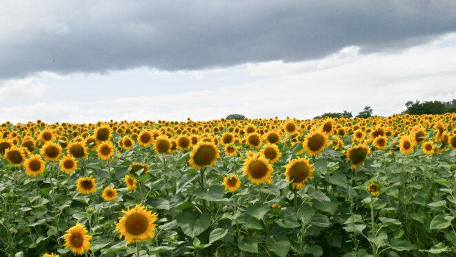 Sous le ciel gris et menaçant, les tournesols montrent le soleil © Georges-André Photos