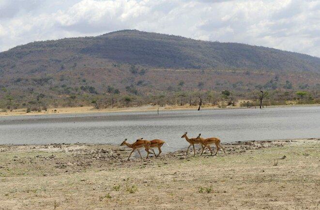 Des antilopes dans la réserve de Selous en Tanzanie, en 2010. © Photo Frédèric Soreau / Photononstop via AFP