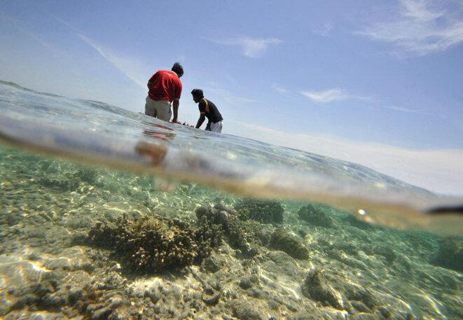 Des volontaires transplantent de jeunes coraux dans le parc marin national des Mille-Îles sur l'île de Pramuka, au nord de Jakarta, ainsi qu'un lieu de nidification de la tortue imbriquée en voie de disparition, en 2010. © Photo Roméo Gacad / AFP