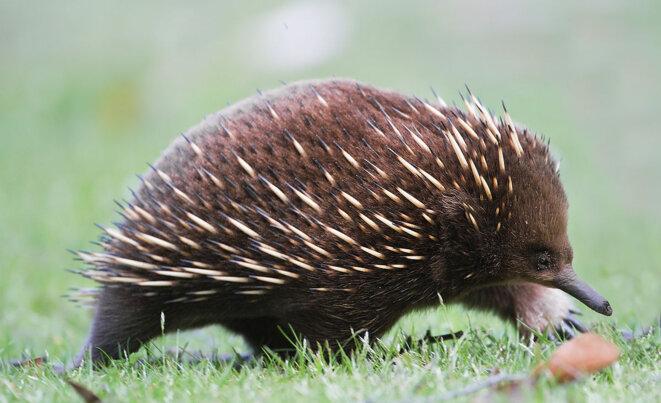 Voici notre fameux Tachyglossus aculeatus, moins méconnu sous le nom d'Echidné à nez court ! © Wikipedia