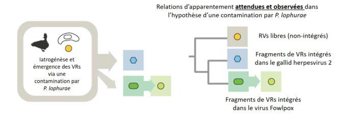 Hypothèse finale retenue pour retracer l'histoire des VRs. Des VRs libres (en jaune) ont probablement été mis en contact avec P. lophurae (dans le cadre de la mise au point de vaccins). La mise au point des vaccins contre le gallid herpesvirus 2 (en bleu) et le virus Foxpowl (en vert) a probablement permis la mise en contact entre les VRs, P. lophurae et les virus ayant des fragments de VRs intégrés en eux. © Niewiadomska & Gifford (2013)