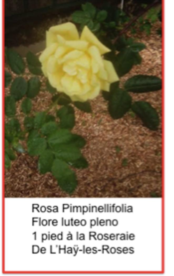 pimpinellifolia