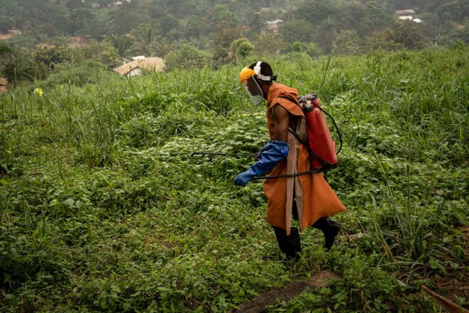 Un travailleur non équipé de tenue de protection épand des pesticides dans la palmeraie de Lokutu (RDC), le17 juillet 2021. © Photo Anthony Fouchard / Disclose