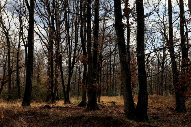 Des séquoias californiens à la rescousse de la forêt de Vierzon