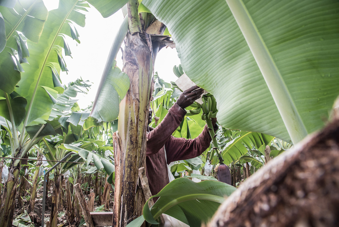 Haïtiens et forçats de la banane bio