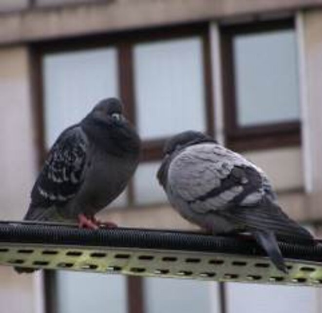 Les pigeons © Liliane B