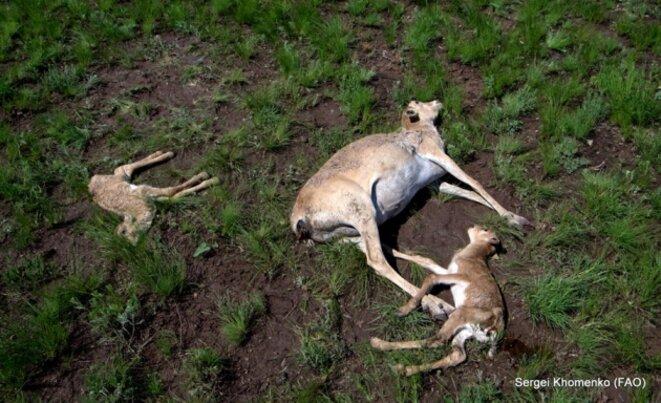 Saigas mortes au Kazakhstan © Sergei Khomenko (FAO)/Nature