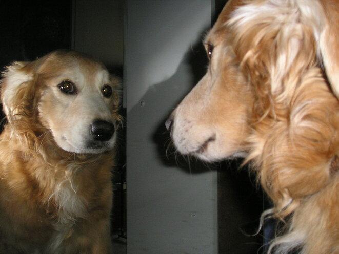 Chien contemplant son reflet dans un miroir © DR