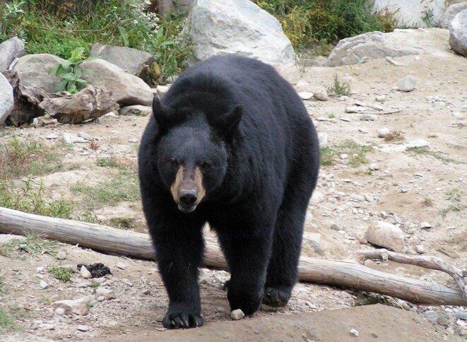 Ours noir américain © DianeAnna