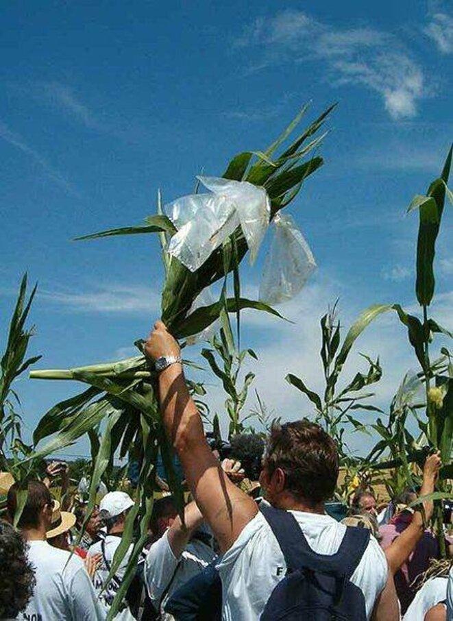 Arrachage de plants de maïs transgénique en 2004 © Jean-Marc Desfilhes